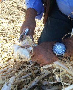Christoper Ranch Employee Trims Garlic Plant -McDonald's Field to Restaurant Gilroy Garlic Tour